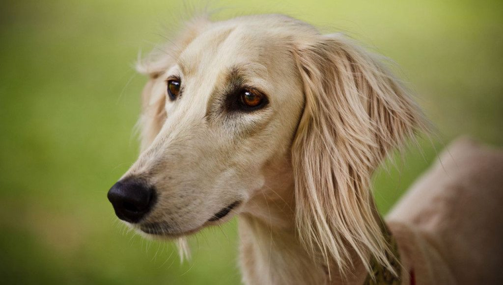 Saluki Dog For Sale In Egypt