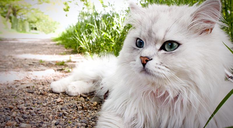 Top 12 Most Expensive Cat Breeds In The World Savannah Vs