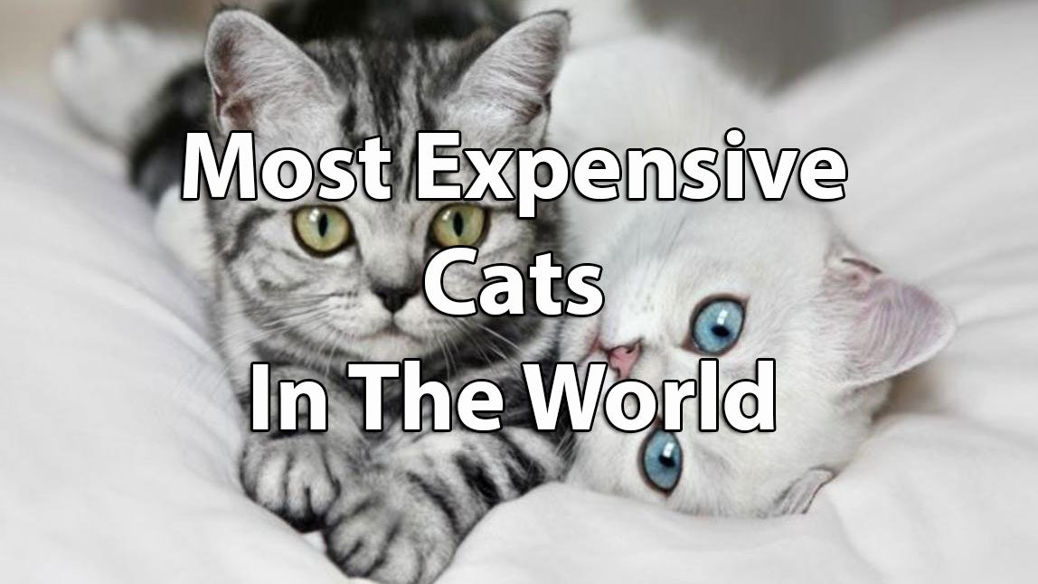 The Top Ten Most Expensive Cats